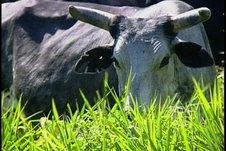 Mejores pastos para el ganado vacuno en Sancti Spíritus