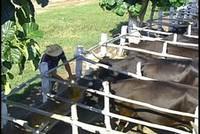 Pecuaria Venegas:  renacer de la ganadería