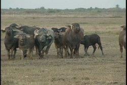 Búfalos salvajes:    claves de una cacería