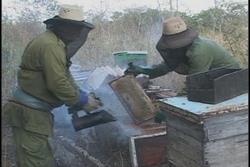 Alcanzan apicultores espirituanos la mayor producción de miel de los últimos cinco años