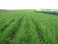 Cultivan nuevas variedades de arroz en centro de Cuba