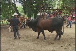 Celebran Feria Nacional del Cebú Cubano y el Cabalo Criollo