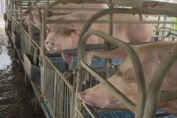 Aumenta Sancti Spíritus producción porcina y eleva la eficiencia
