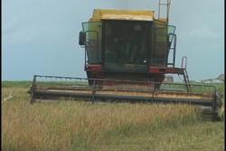 Avanza cosecha arrocera en Sancti Spíritus con rendimiento agrícola superior al planificado
