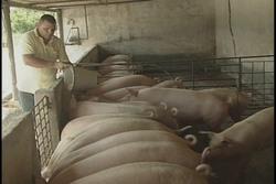 En ascenso producción porcina en Sancti Spíritus