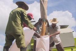 Crece notablemente producción de maíz destinado a la rama porcina